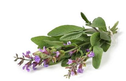 Fresh-picked bunch of flowering sage, casting natural shadow on white.
